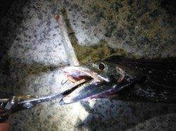 【タチウオ今日も釣れてます♪】南芦屋浜