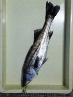 中波止でエビ撒き釣り、50cmのハネGET!