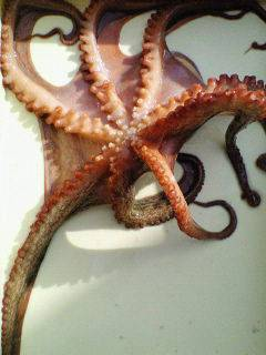 キロオーバーの蛸が釣れました♪沖一文字