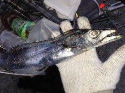 芦屋のタチウオまだ釣れてます!