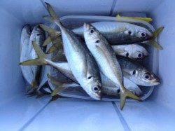 水軒でカゴ釣り、30cmまでのアジを13匹の釣果☆