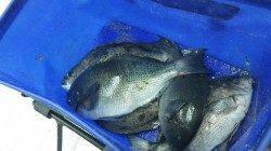すさみの波止、紀州釣りでグレ