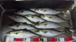香住西港 カゴ釣りでハマチ3人で20匹の大漁釣果!