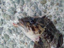 垂水漁港 テトラの穴釣りでガシラ釣れました