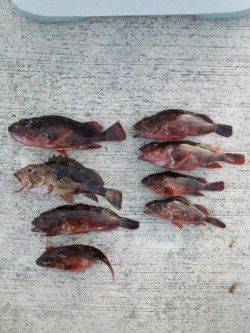 佐野周辺でガシラ穴釣り