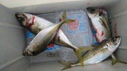 まだまだ釣れるぞ!水軒のアジ♪【12日】RT
