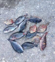 地のカンゴメ、グレ、カワハギ、イガミと大漁です!!
