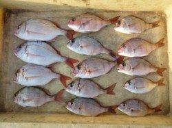 神谷沖一文字、カゴ釣りでチャリコの数釣り!