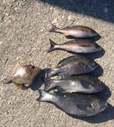 武八でグレ大漁です(#^.^#)萩尾フカセ釣果