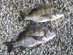 【4日湯浅の磯】続・チヌ良サイズが釣れています!