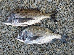湯浅の磯、良いサイズのチヌ釣れています♪