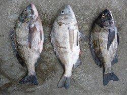 湯浅の磯フカセでチヌ釣り、良型3枚揃いました!!