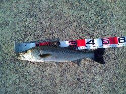 南甲子園浜でエビ撒き釣り、52cmのハネGET!