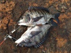 「北側水道 チヌ」の画像検索結果