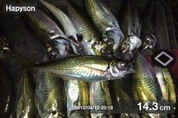 三本松鼻 ウキ釣りでアジ33匹!好釣果です☆