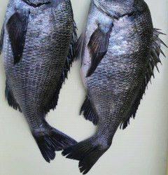 沖一文字、紀州釣りでもチヌの釣果☆