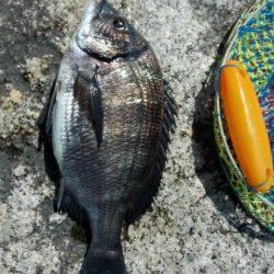 【芦屋のチヌ】今日も釣れてます♪♪