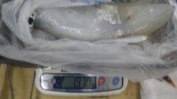 椿地磯 アタリが少ない中でもヤエンでアオリ〜1.97kg