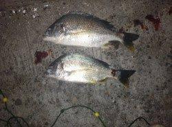 武庫川河口 投げ釣りでキビレ8枚の釣果