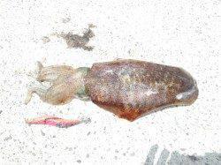 小杭漁港 エギングでアオリイカ800g2ハイ 昼前後のヒット!