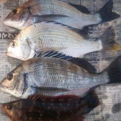 深日 紀州釣りでチヌ・キビレ・イソベラ