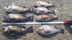 神戸垂水一文字でメバル釣り!最終釣果は7匹です