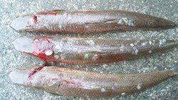 南塩谷 ルアー釣りでエソ40cmを3匹☆