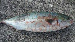 美浜エリアでルアー釣り、72cmのメジロ!!48cmのヒラスズキGET♪