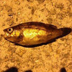大蔵海岸 ウキ釣りでメバル14cm&16cm