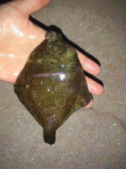 塩屋海岸、投げ釣りでカレイ6匹の釣果