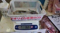 堺漁港でアオリイカ『ヤッター!!』