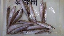 みなべ埴田漁港で投げ釣り、キス二桁釣果☆