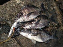 【皆様チヌ追加で釣れてます】南芦屋浜