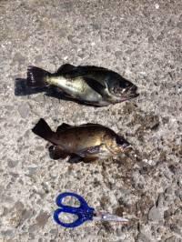 メバル用サビキでイワシにメバルの釣果☆マリーナ海釣り公園で
