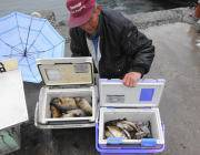 黒島の磯 アイゴ1人で77匹釣果も