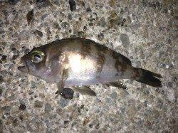 兵庫突堤でのメバリングの釣果、釣り人多くて単純には釣れなかった・・・