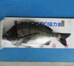 音海イカダでチヌ53.8cm♪お見事です