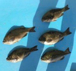野原磯 フカセでグレ5匹の釣果