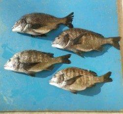 佐波賀地磯でチヌ50.8cmを頭に4匹の釣果