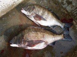 湯浅の磯 フカセでチヌ2枚の釣果