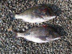 チヌ47cm~48.5cm 湯浅での紀州釣り