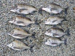 フカセチヌ、数釣れています!