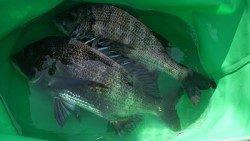 湯浅エリア、紀州釣りでのチヌの釣果☆