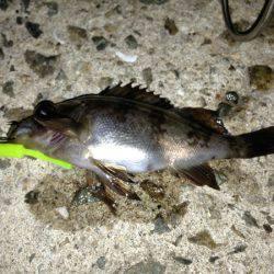 富島 メバリング・穴釣りでガシラ&メバルの数釣り楽しめる