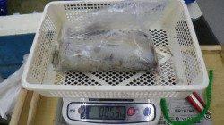 伊古木 ウキ釣りでアオリイカ855g