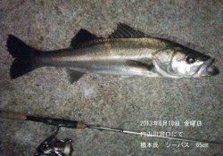 円山川で65cm・84cm・86cmのシーバスをキャッチ☆