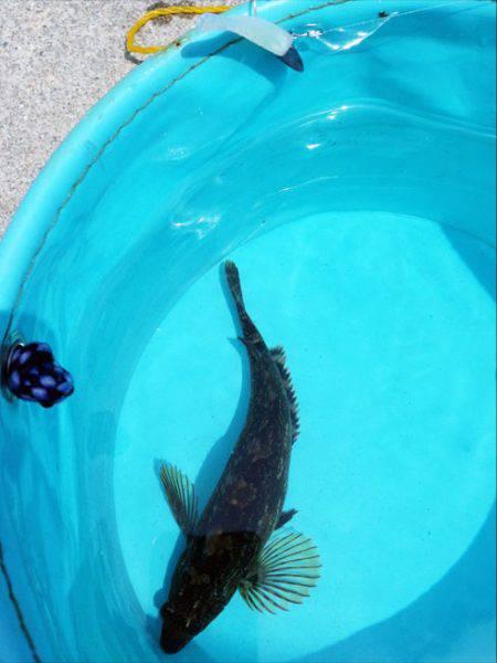 東二見 昼間のルアー釣りでアイナメがヒット