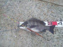 淀川河口でフカセ釣りの釣果
