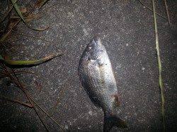【チヌ入れ食い!】紀ノ川河口でルアー釣り!