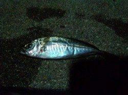佐野漁港 南蛮漬けのアジ狙いでアジングも後半フグの猛攻